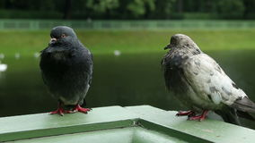 Two pigeones is sitting on the green side. In the summer stock video