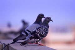Two Pigeons Royalty Free Stock Images