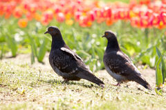 Two pigeons Stock Image