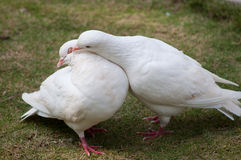 Two pigeons. Two white pigeons are kissing Stock Images
