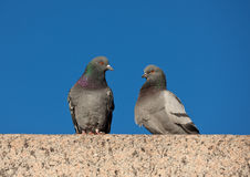 Two pigeons Stock Photos