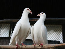 Two pigeons. Pair of pigeons with love looking at each other Stock Image