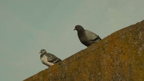 Two pigeons. Autumn daytime stock footage