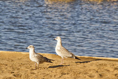 Two pigeons on the beach. Two sea birds standing on the beach by the edge of a lake Royalty Free Stock Photo