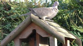 Two Pigeons on the bird table, walking around and watching carefully stock video