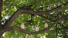 Two pigeons on the branch. A flock of pigeons sitting on the branch of a tree and then fly away stock video