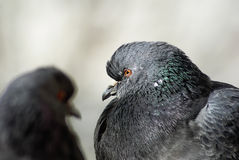 Two pigeons close up Royalty Free Stock Photo