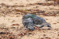 Two Pigeons Courting on the Beach stock photos