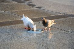 Two pigeons drinking water. Stock Photos