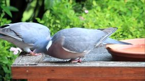 Two pigeons eating bird food sunflower stock video footage