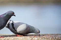 Two Pigeons Eating. One pigeon watches another pigeon enjoying food royalty free stock image