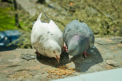 Two pigeons feeding Royalty Free Stock Photos
