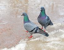Two pigeons. Female and male on  path among  thawing snow and pools in early spring. Focus on nearest bird royalty free stock image