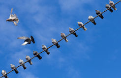 Two pigeons flies past a cable full of pigeons. Stock Photos