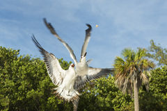 Two pigeons in flight fighting over food, view from below. Splendid detail match. Stock Images