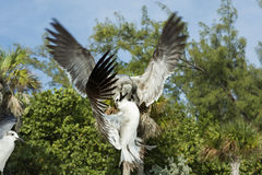 Two pigeons in flight fighting over food, view from below. Splendid detail match. Stock Photo