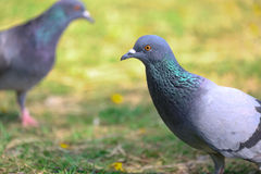 Two Pigeons are friend Royalty Free Stock Images