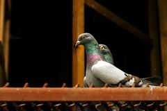 Two pigeons with funny look in their house, bird breeding. Two pigeons with funny look in their house royalty free stock photo