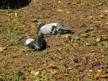 Two pigeons Royalty Free Stock Image