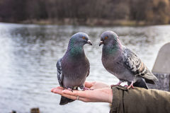 Two pigeons on the hand. Two pigeons sit on the hand and look at each other stock photo