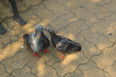 Two pigeons kissing Royalty Free Stock Images