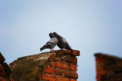 Two pigeons kissing. Two pigeons look kissing on an ancient castle royalty free stock photo