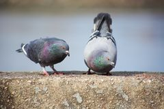 Two Pigeons on a Ledge. Two pigeons hanging out on a ledge stock images