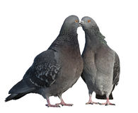 Two pigeons in love. Isolated on white background Stock Photography