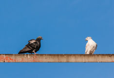Two pigeons on metal bar against clear sky. Stock Image