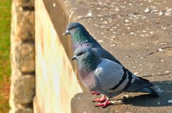 Two pigeons. Stock Photos