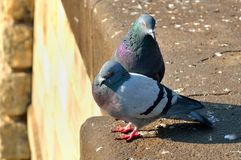 Two pigeons. Royalty Free Stock Images
