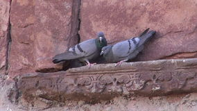 Two pigeons on old  wall decoration. Two pigeons on old indian wall decoration stock video