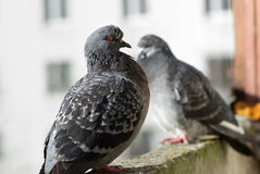 Two pigeons outdoors Stock Photos