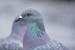Two pigeons passing by. Stock Photo