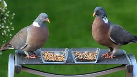 Two pigeons pecking birdseed stock video footage
