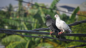 Two pigeons on a power line. Black and white pigeons on a power line Stock Photos