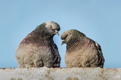 Two pigeons with rainbow necks and bright eyes sit together on concrete surface looking at each other with love in the park in. Two pigeons with rainbow necks stock photography