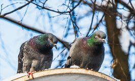 Two pigeons with rainbow necks and bright eyes sit on a white metal disk with snow in the park in winter. On the blue sky background stock photo
