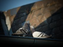 Two pigeons on the rooftop stock images