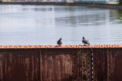 Two Pigeons standing on rusty steel beam stock image