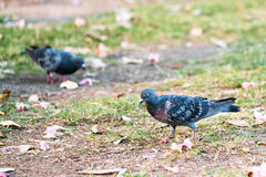 Two pigeons searching for food on the garden ground, selective focus on the right one Royalty Free Stock Images