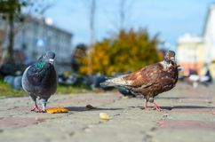 Two pigeons on the sidewalk. Royalty Free Stock Photo
