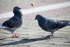 Two pigeons on the sidewalk Stock Photography