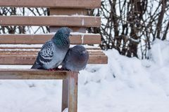 Two pigeons sit on a wooden bench in winter park Stock Images