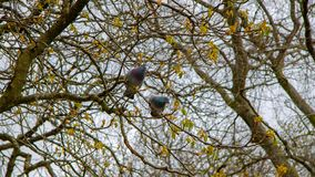 Two pigeons sitting on a branch in a tree stock photo