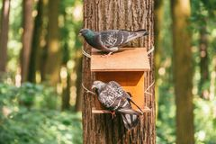Two pigeons sitting on a Large wooden feeder nailed to the trunk of a tree in the forest royalty free stock photo