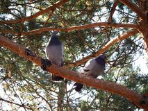 Two pigeons are sitting on a tree branch stock photos