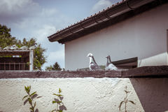 Two pigeons sitting on a wall Stock Image