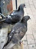 Two pigeons sitting on a wooden bench. Selective focus. Stock Photos