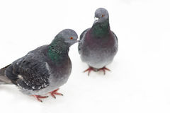 Two pigeons. Two pigeons on the snow Royalty Free Stock Photo